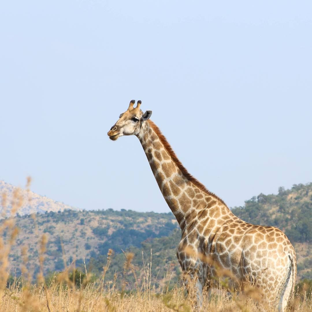 I think giraffes are becoming my favourite animal to photograph on game drives  what's yours?