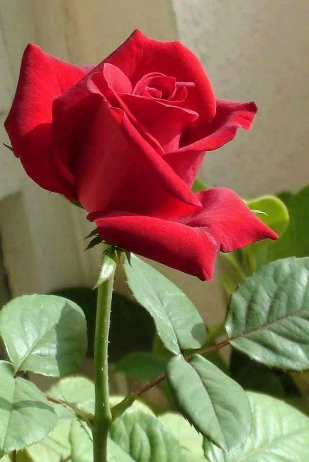 Pin by heartwhispers on roses are red pinterest beautiful red roses rose flowers garden roses flower photos beautiful flowers glitter garden paths change pretty pictures izmirmasajfo