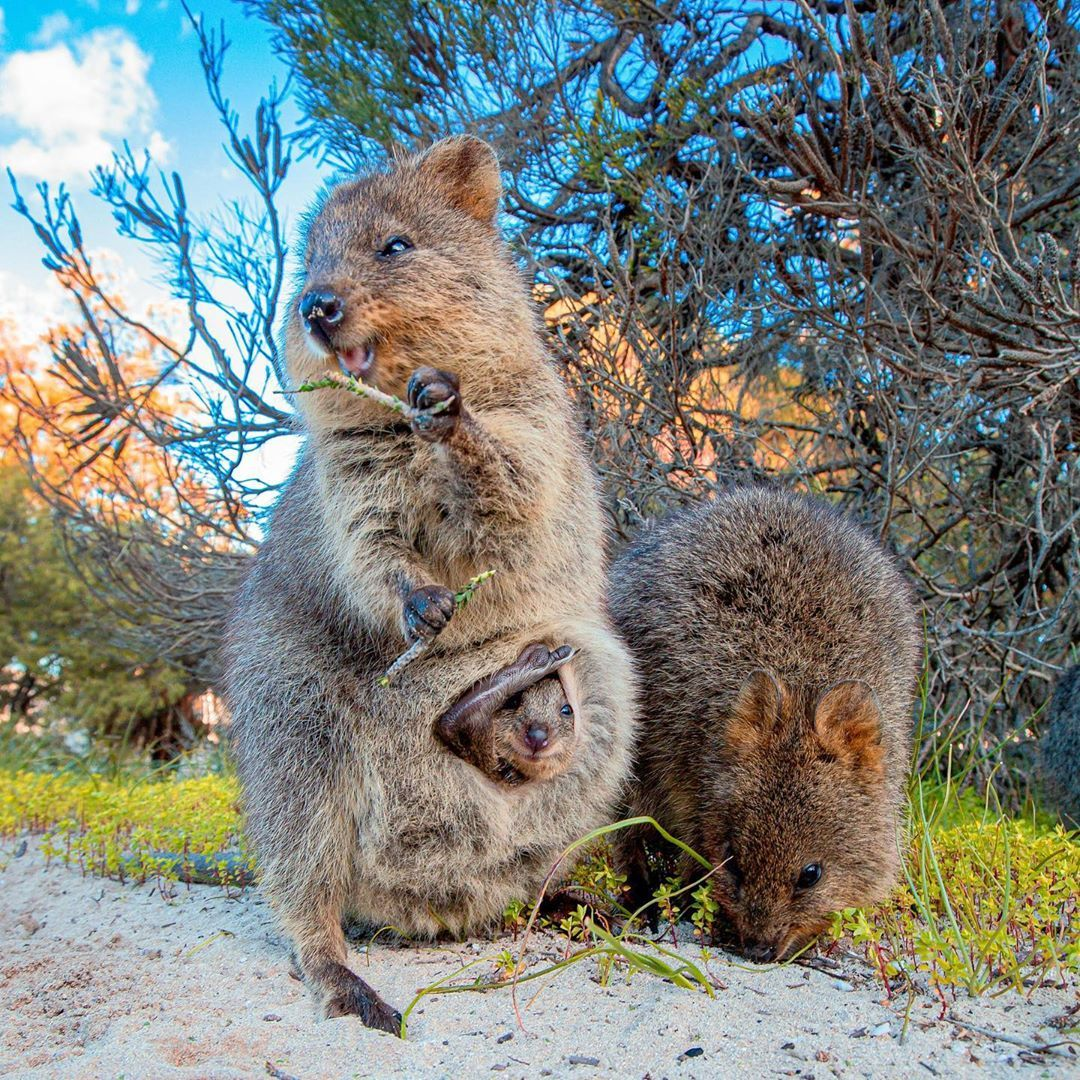 Pin By Tamara Hanson On Quokkas Quokka Australian Animals Animals