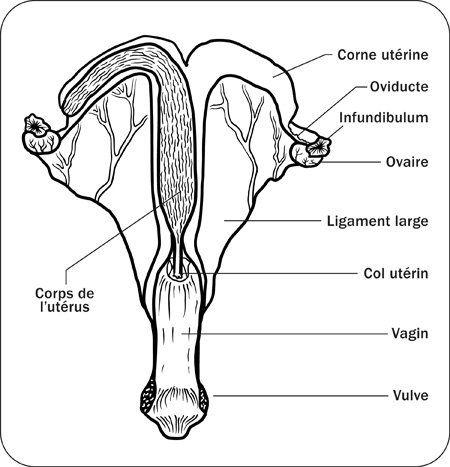 Hippologie (anatomie) : L'appareil reproducteur femelle