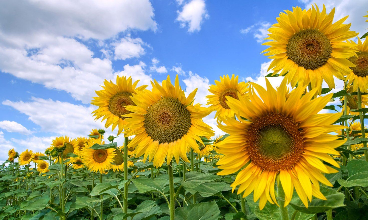 Symbolic Sunflower Meaning and Sunflower Insight on(이미지 포함