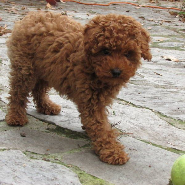 Rare Red Toy Poodle We Had A Female Red Toy Poodle Maia