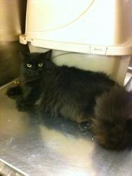Adopt Santana On Looking For A Cat Pinterest Cats Angora