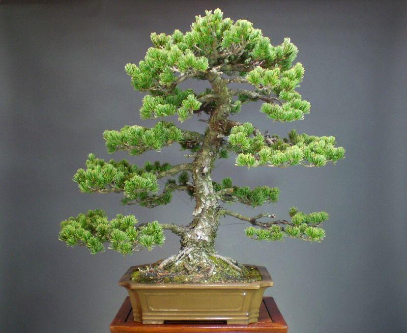 bonsai semicascada   五葉松 大品盆栽 - 山太屋盆栽オンラインショップ
