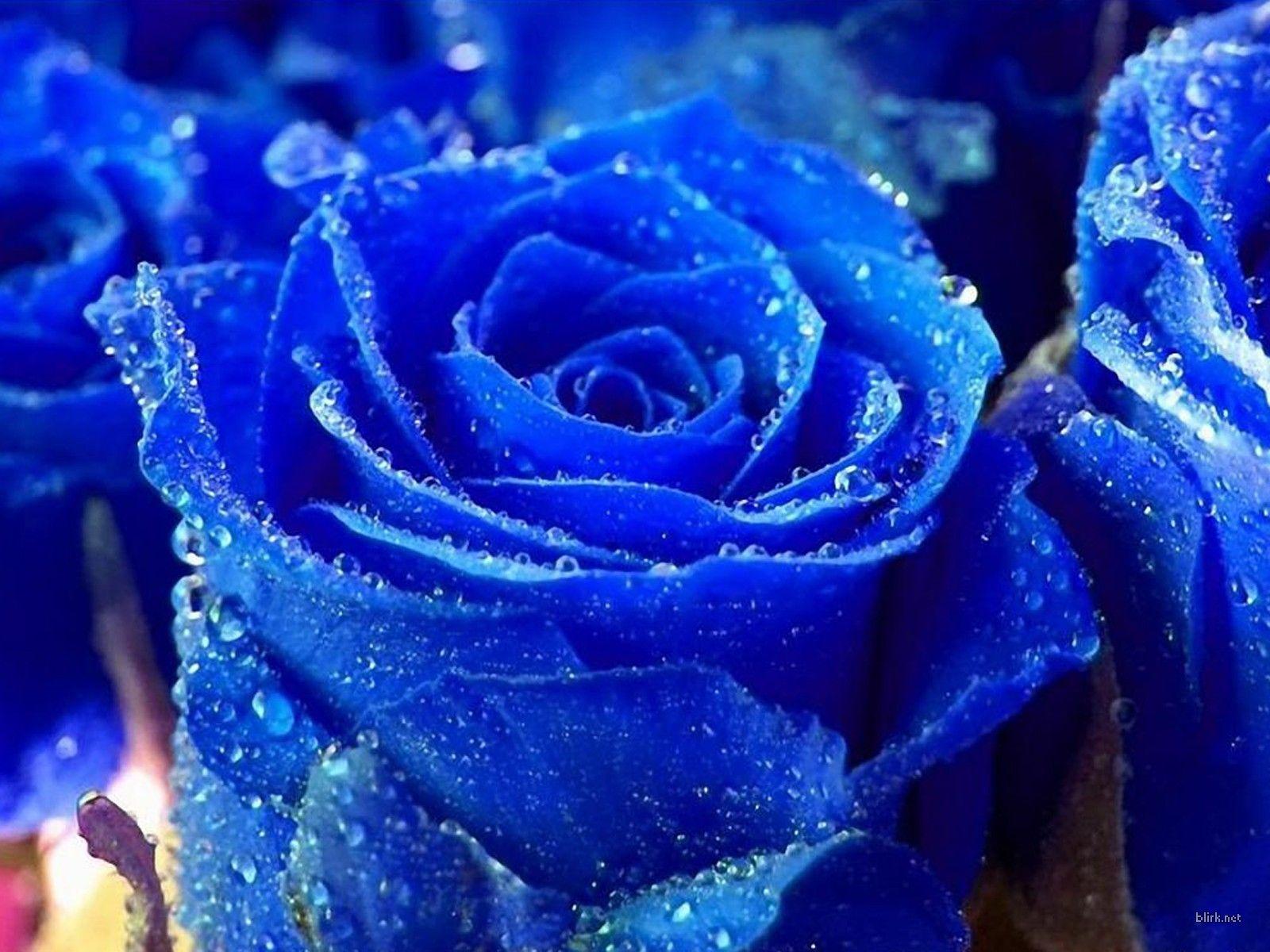 Rose wallpaper blue