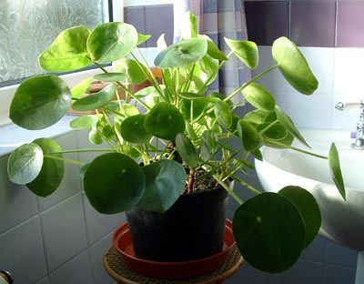Pilea peperomioides also called chinese money plant and for Plante pilea