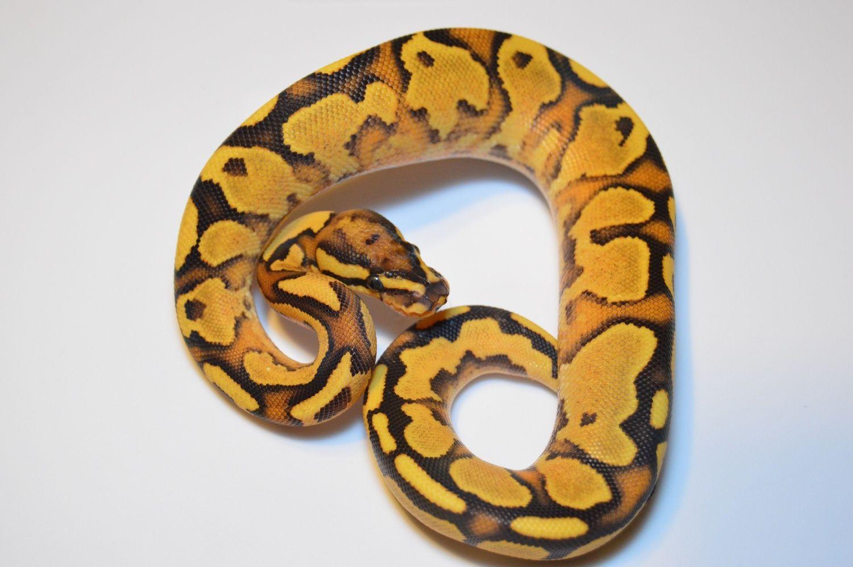 Orange Dream Fire Yellow Belly Ball Python By Beast Mode Reptiless