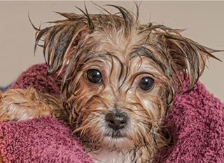 Pin By Lynn Loper Sakers On Dogs Bathing A Puppy Morkie Puppies