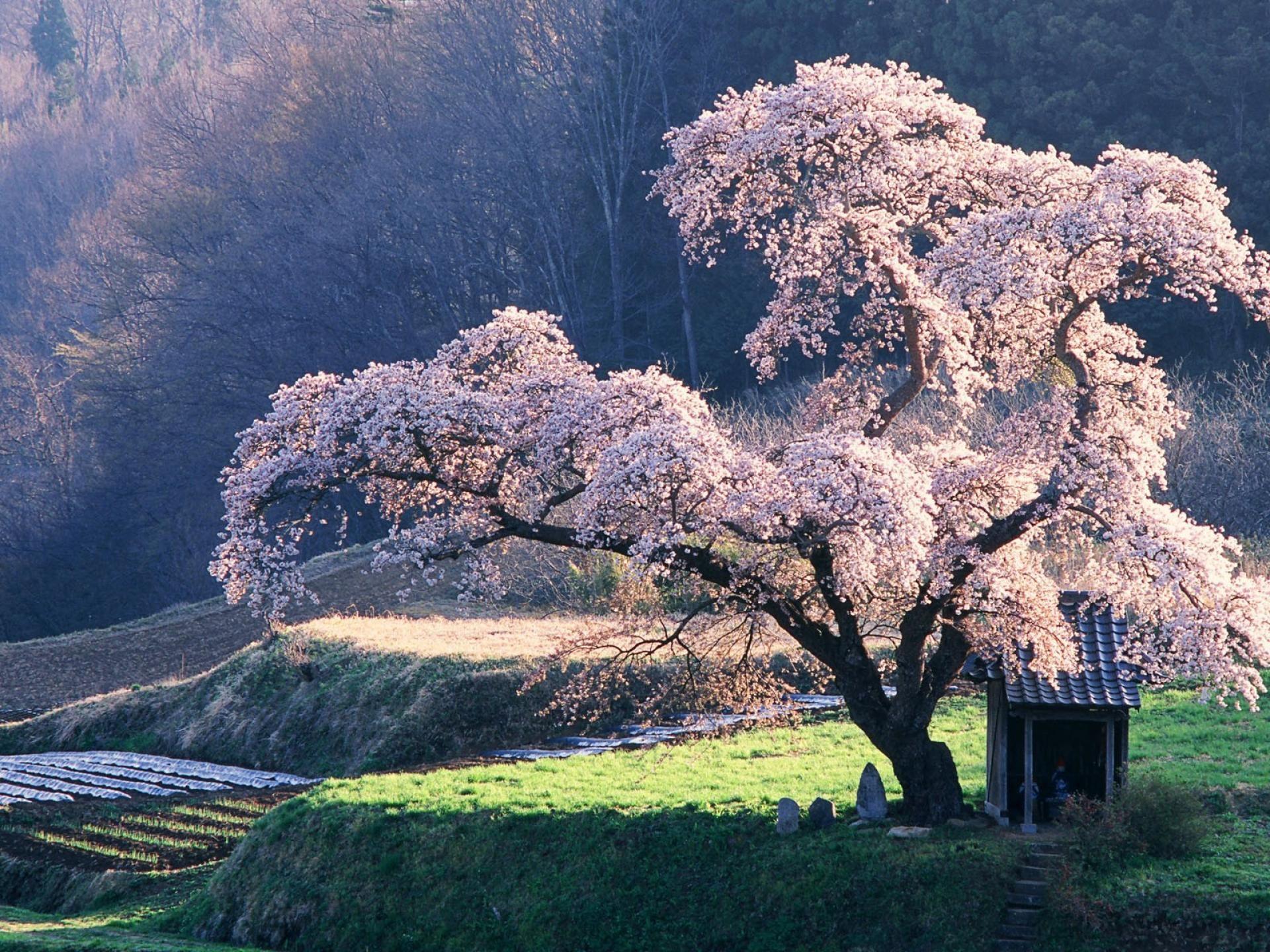 Japanese Cherry Blossoms Tree Blossom Trees Japan Landscape Beautiful Nature