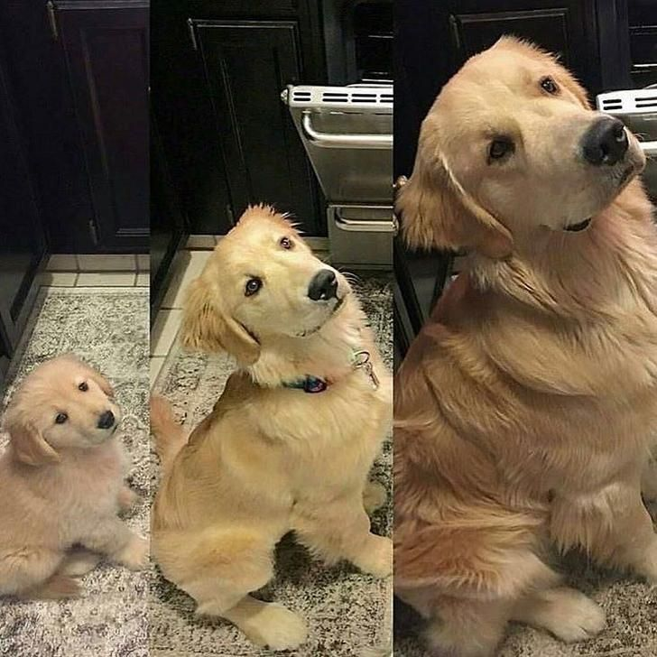From Pupplet To Pupper To Big Ol Doggo Cute Animals Cute Funny