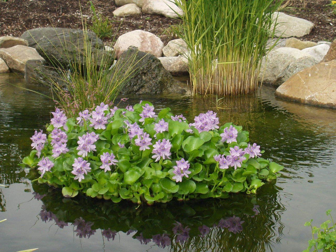 Floating flora hyacinth island water garden plants for Water filtering plants for ponds