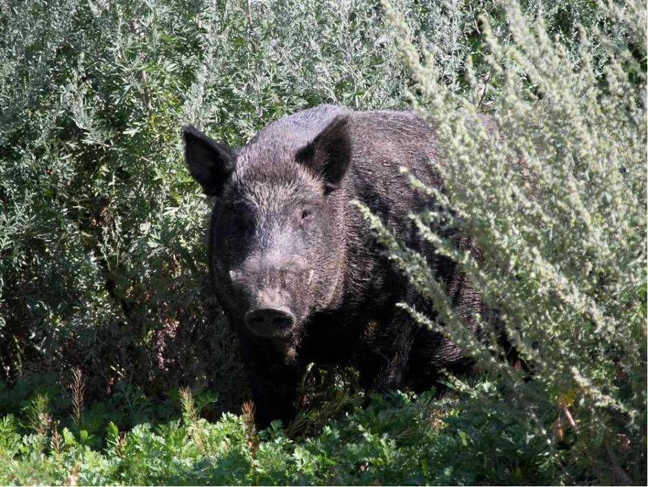 They Re Smart Alberta Admits Defeat In Wild Boar Hunt Ends Provincial Bounty Program National Post National Post They Re Smart イノシシ