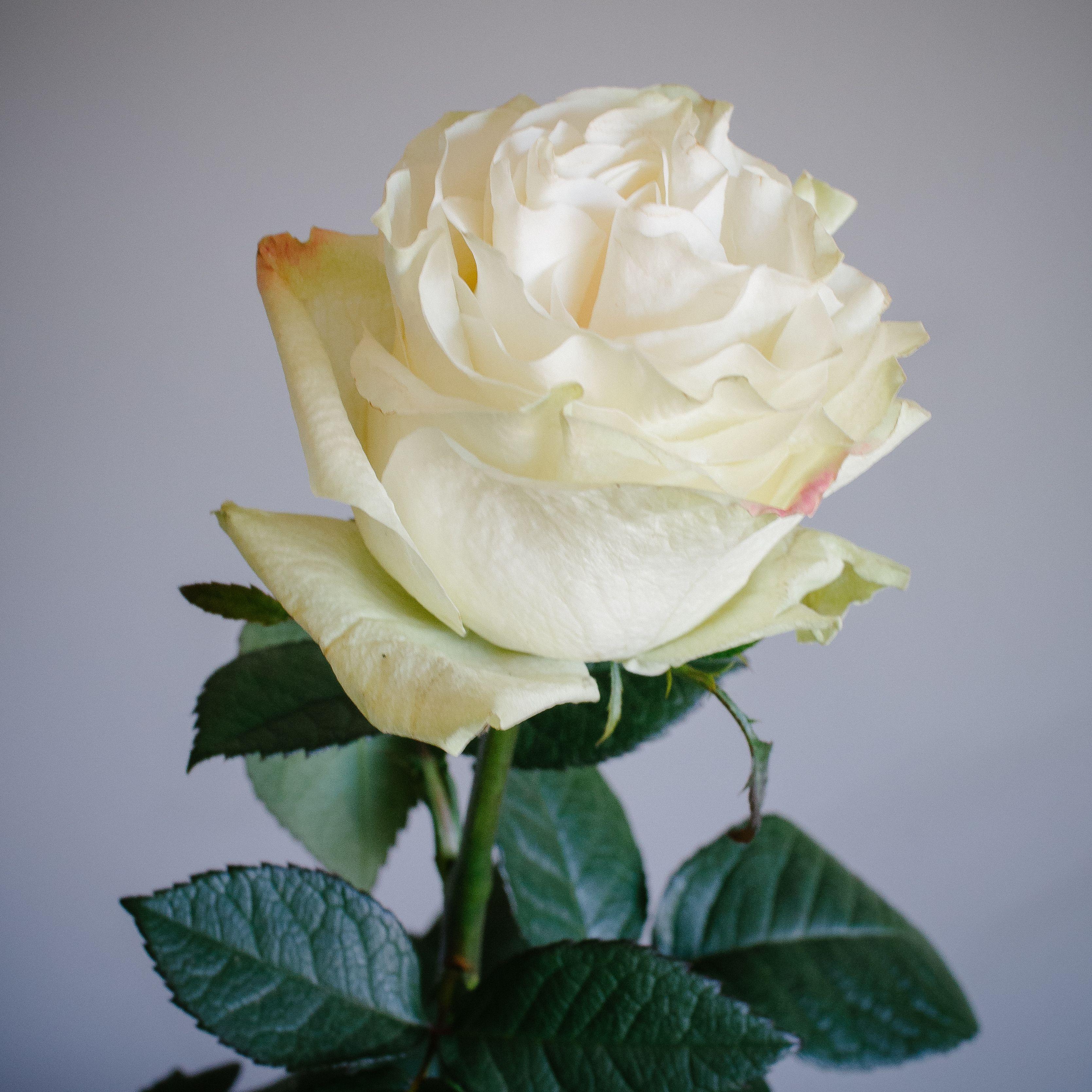 Cream Garden Rose meet moonstone, one of our new cream garden rose varieties