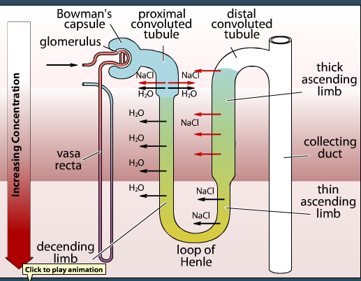 Sumanas animation of nephron processes   Urinary   Chart
