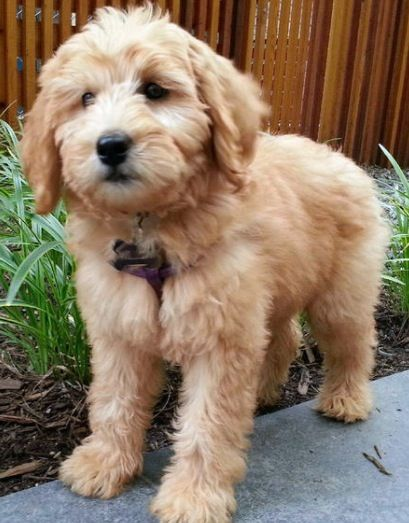 Labradoodle Puppy Cute Dogs