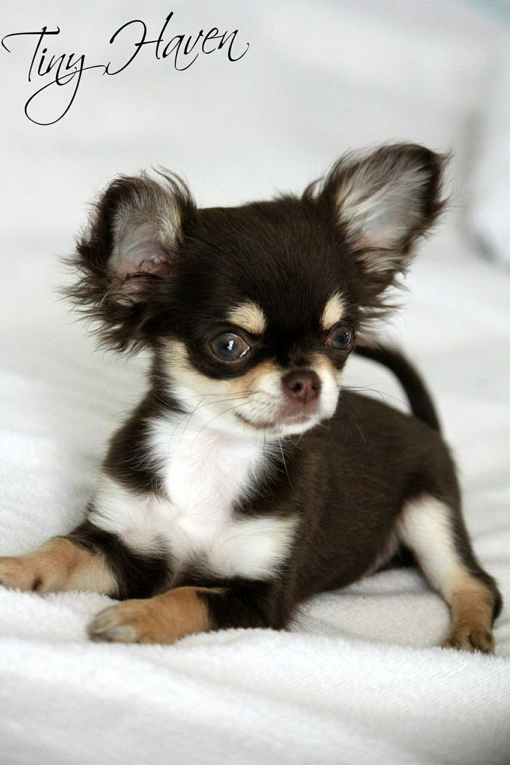 1000 images about chihuahuas on pinterest cartoon devil and blue - Adorable Little Chihuahua Puppy
