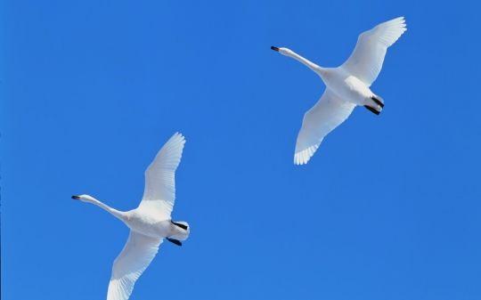 Free Swans Flying In Blue Sky 92123 Wallpaper Download Swan Flying Pair Wallpaper 1024x768 Wallpapers Birds in sky desktop wallpapers free
