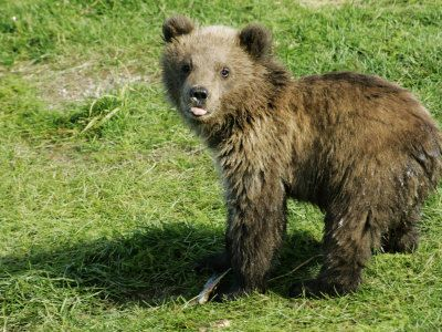 Baby Bear- I may be sold on drawing one- love this page: 50 Animal Babies Photo Compilation
