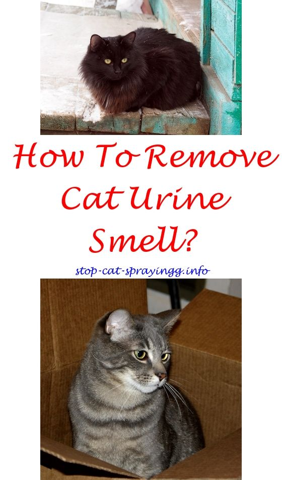 cat peeing in house two cats spraying urine quiver tail feet forum how to naturally stop cats from spraying cat pee meme girl or boy cats spray f
