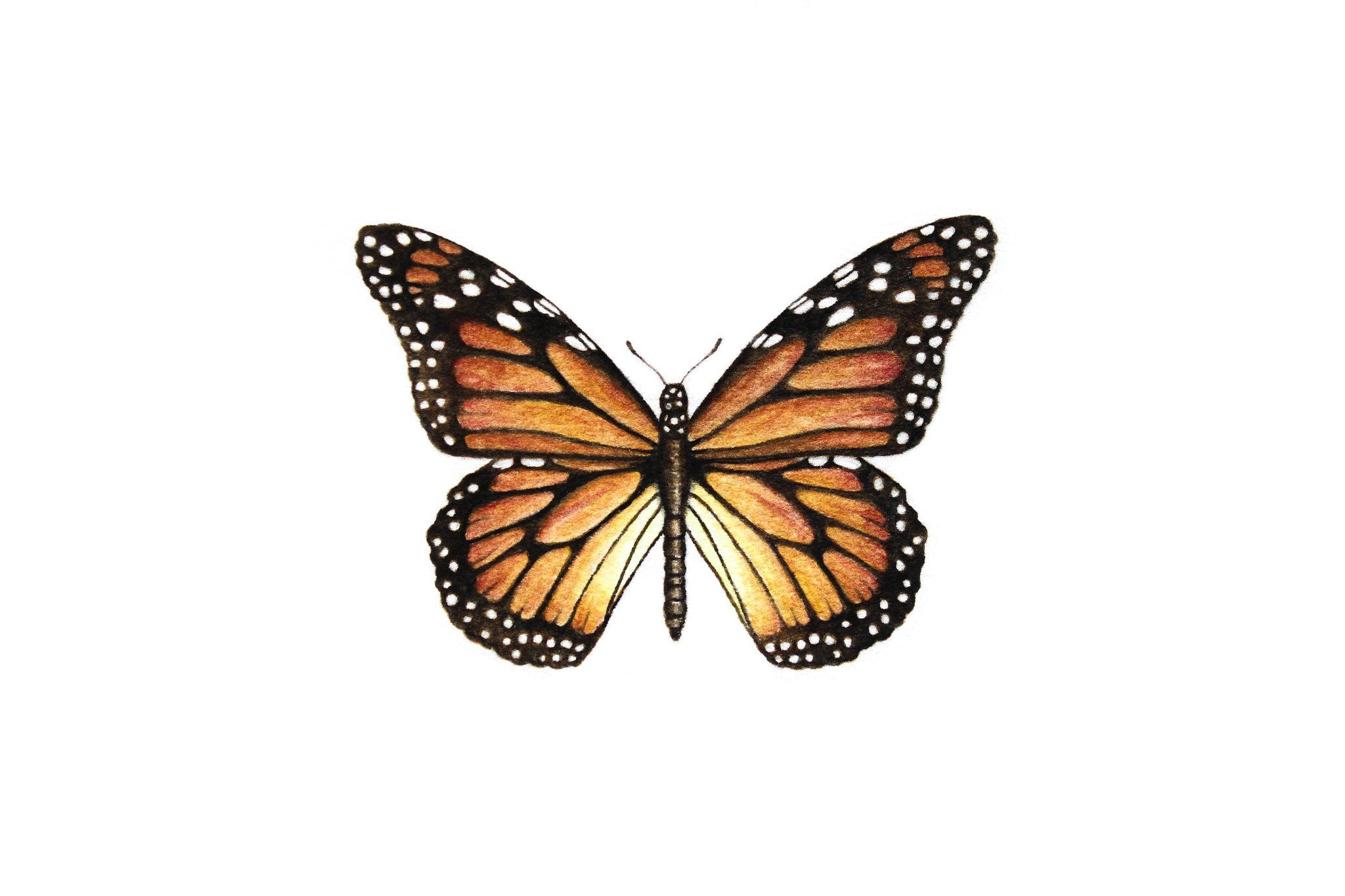 Monarch Butterfly Paintable Project Digital Download Monarch Butterfly Tattoo Butterfly Drawing Monarch Tattoo Butterfly tattoo wallpaper download