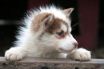 Yapert Com Domain Name Cute Animals Cute Husky Siberian Husky