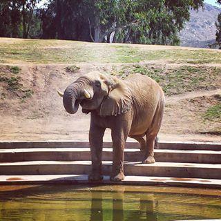 Elephant Cam | San Diego Zoo Safari Park | Live Animal