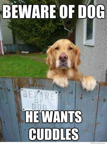 25 Charming Golden Retriever Memes Funny Dog Pictures Beware Of