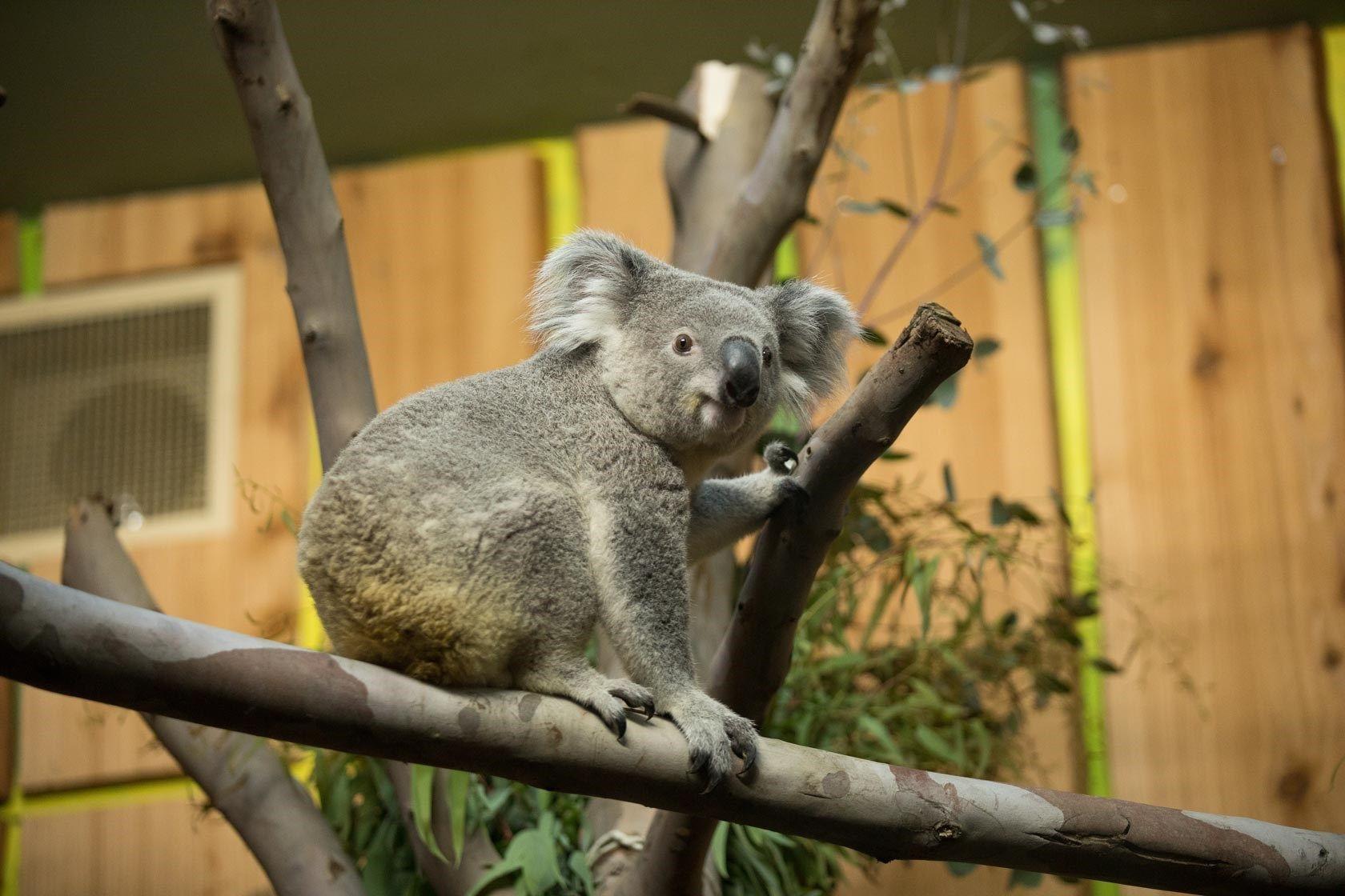 Koala Cam Edinburgh Zoo Koala Edinburgh Zoo Animals