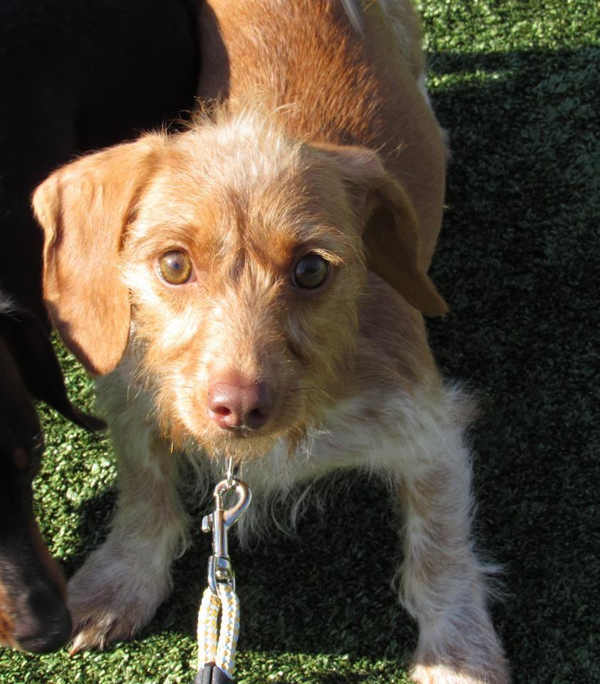 Dachshund dog for Adoption in Alton, IL. ADN716590 on