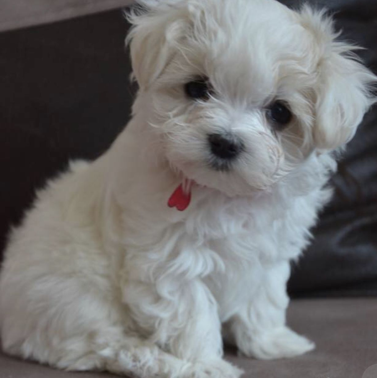 I Have For Sale Female And Male Maltese Puppy 100 Maltese Have Hair Not Fur It S Not Lazy Papers Of Parents To See When U Come The First Dewormed Will Be