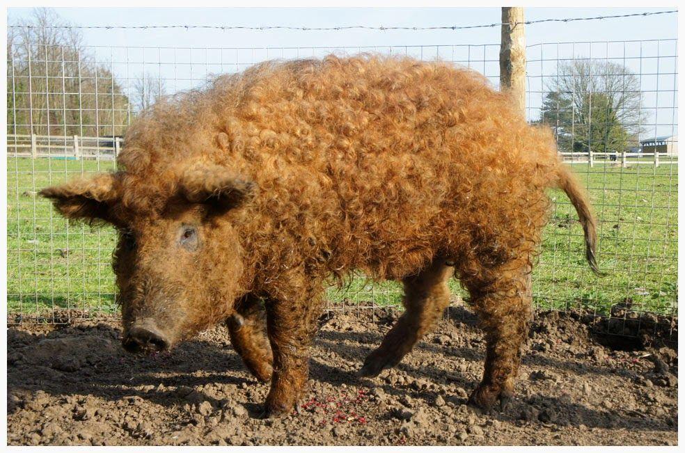 cochon mangalitza