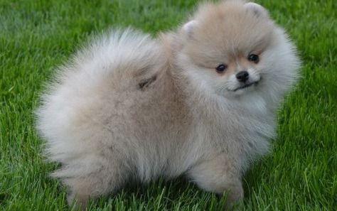 Pomeranian Dog For Sale Near Jacksonville Florida Pomeranian Dog Dogs For Sale Puppies