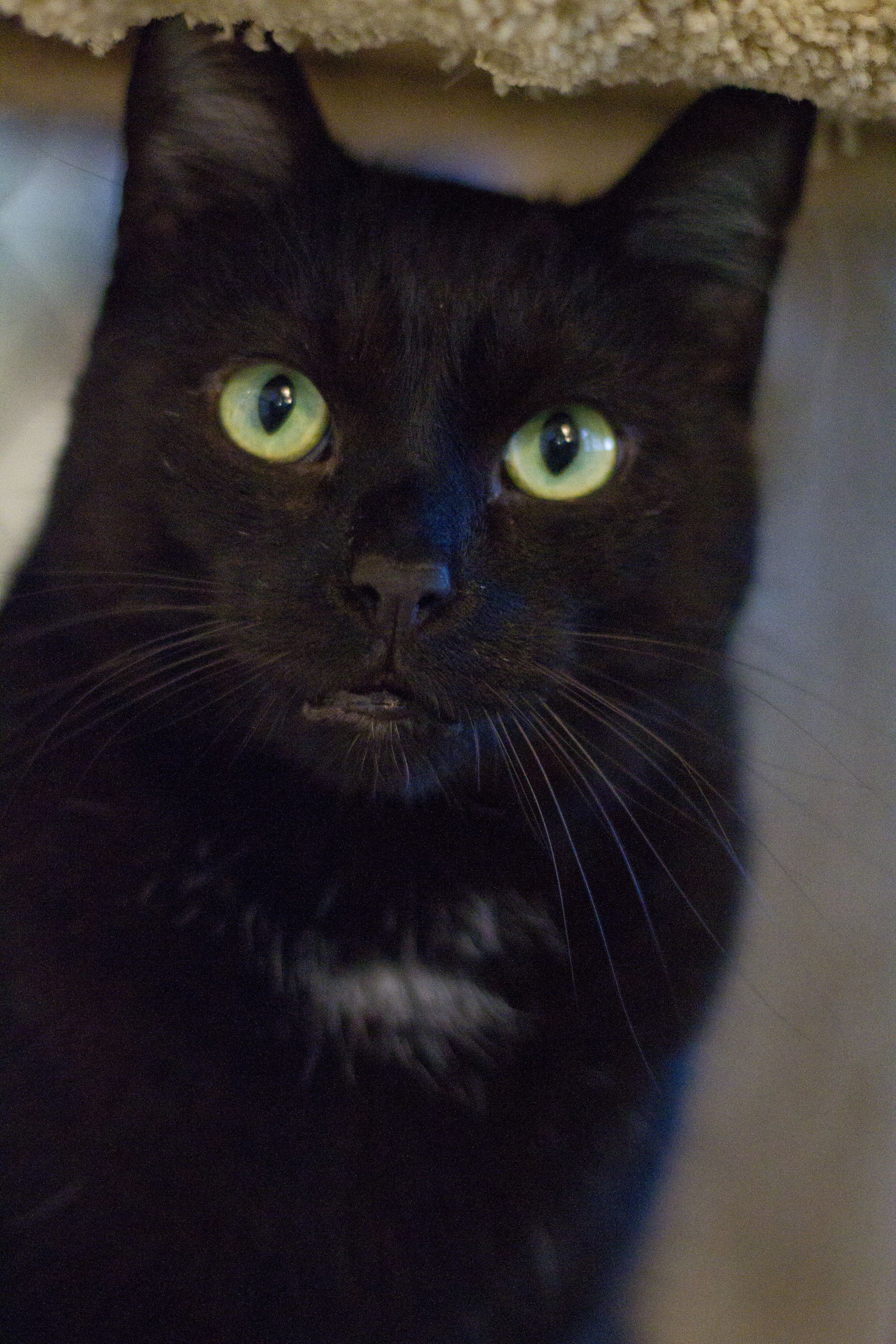 Adopt Cosmos On Petfinder Cat Adoption Pets Pretty Cats