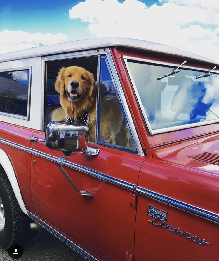 Golden Retriever, Golden Retriever Dog, Golden Retriever Puppy, Dog, Puppy, Dogs, Vintage Bronco, Bronco, Dogs in vintage cars, car, red bronco