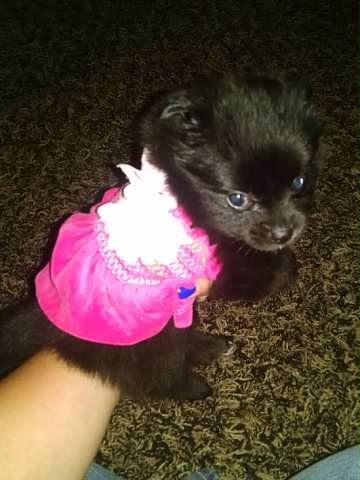 Pomeranian Puppy For Sale In Ottawa Oh Adn 27600 On Puppyfinder