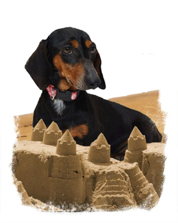 Home Miniature Dachshunds Puppies For Sale In Massachusetts