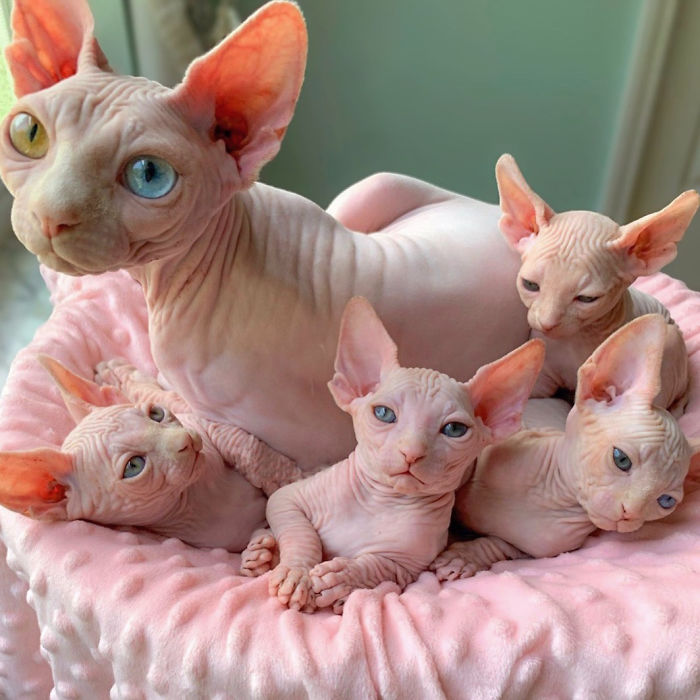 I Was Hesitant When My Daughter Chose A Sphynx Cat To Fit Our Family The Best, Now We Have 3 Of Them | Bored Panda