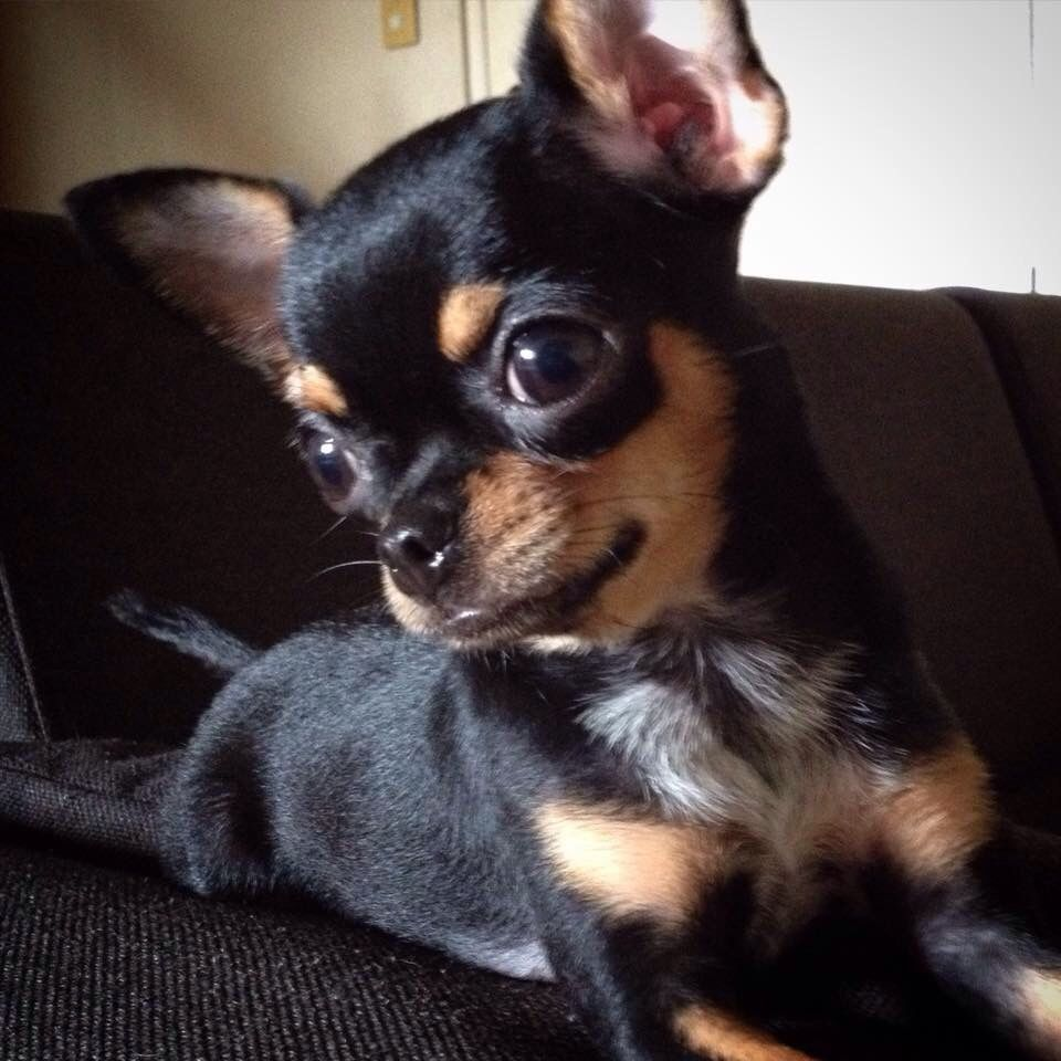 Pin By Claudia Castillo On Manolo In 2020 Chihuahua Puppies Cute Chihuahua Cute Dogs