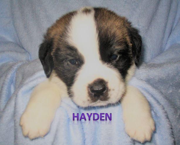 Litter Of 9 Saint Bernard Puppies For Sale In Essex Ia Adn 33597