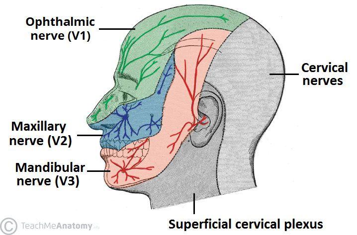 Image result for mandibular nerve   Med- digestive system   Pinterest