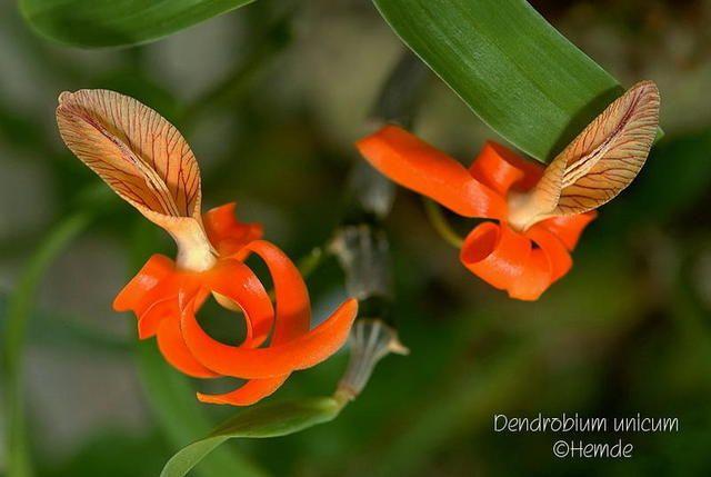 Dendrobium unicum orchids