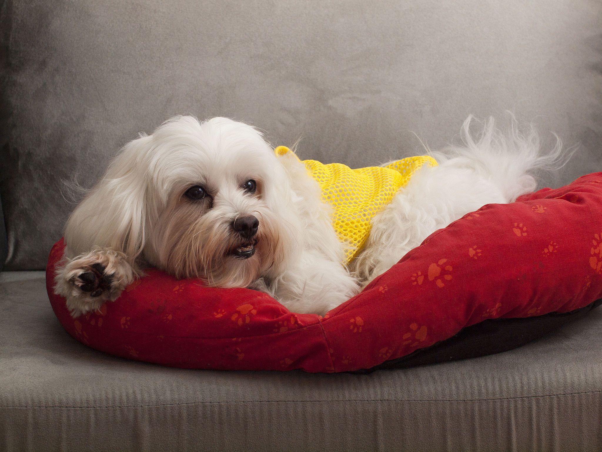 Malteser Malteser Malteser Hund Hunderassen