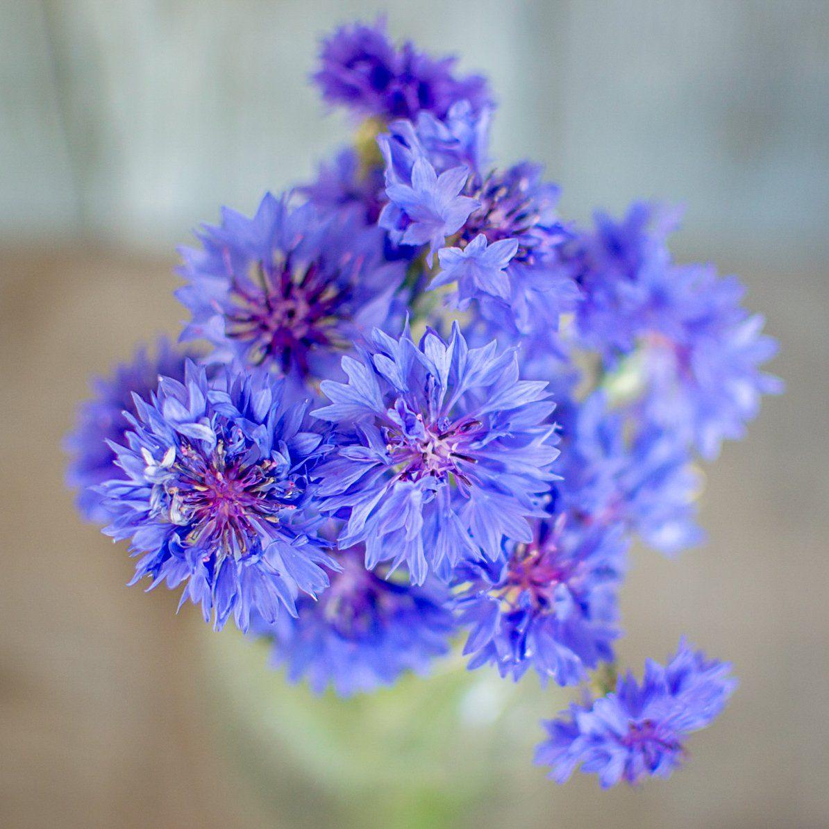 Florist blue boy centaurea dried flowers seed starting