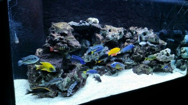 120 Peacock/Hap tank | Cichlid fish, African cichlid ...