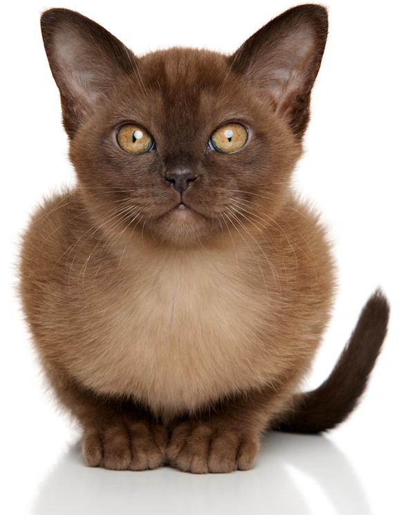 5 Things To Know About Burmese Cats Burmese Cat Burmese Kittens Cat Breeds