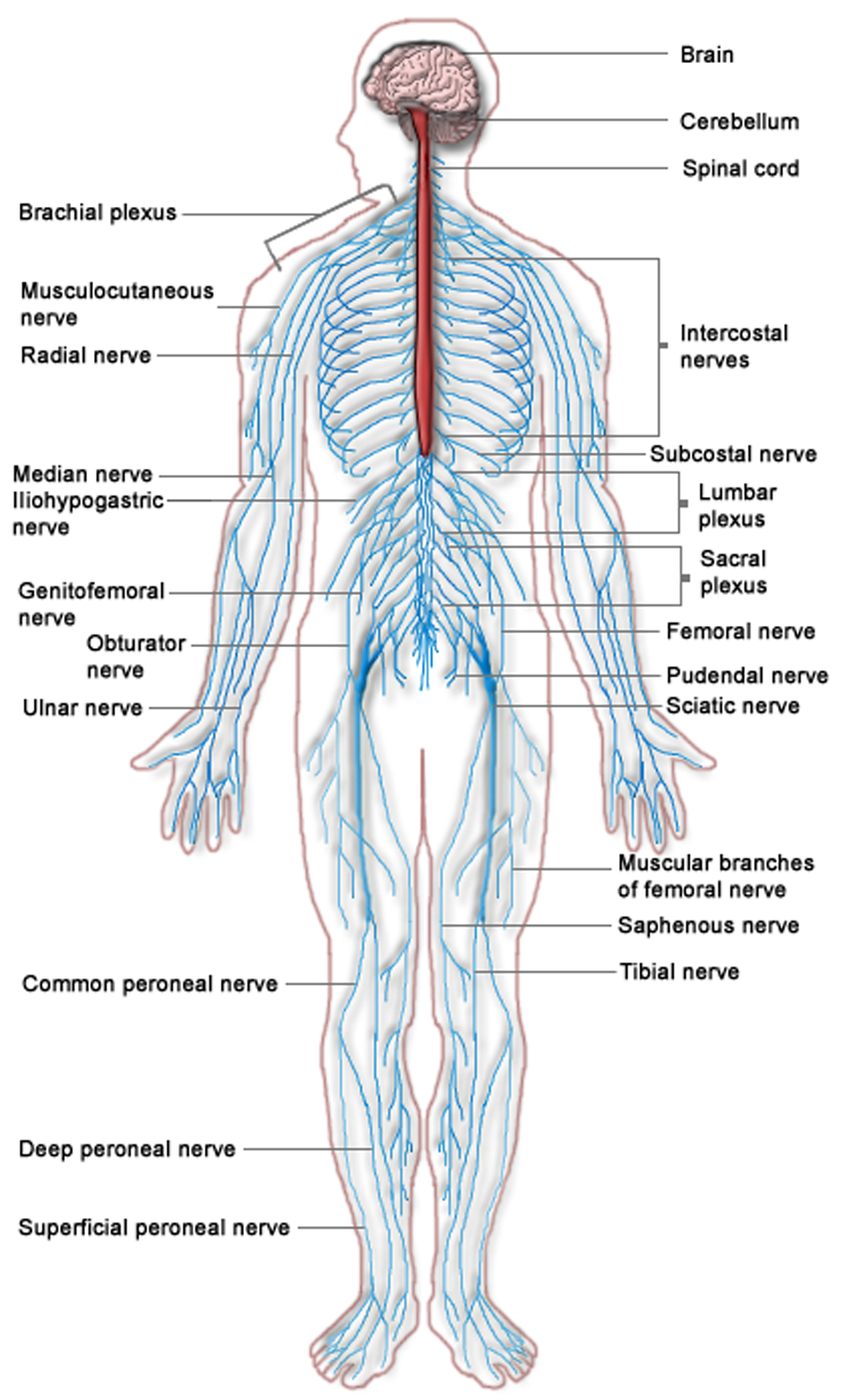 hight resolution of nervous system