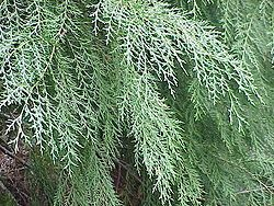 Leyland Cypress. Tree Screen, fast growing, grows in clay ...