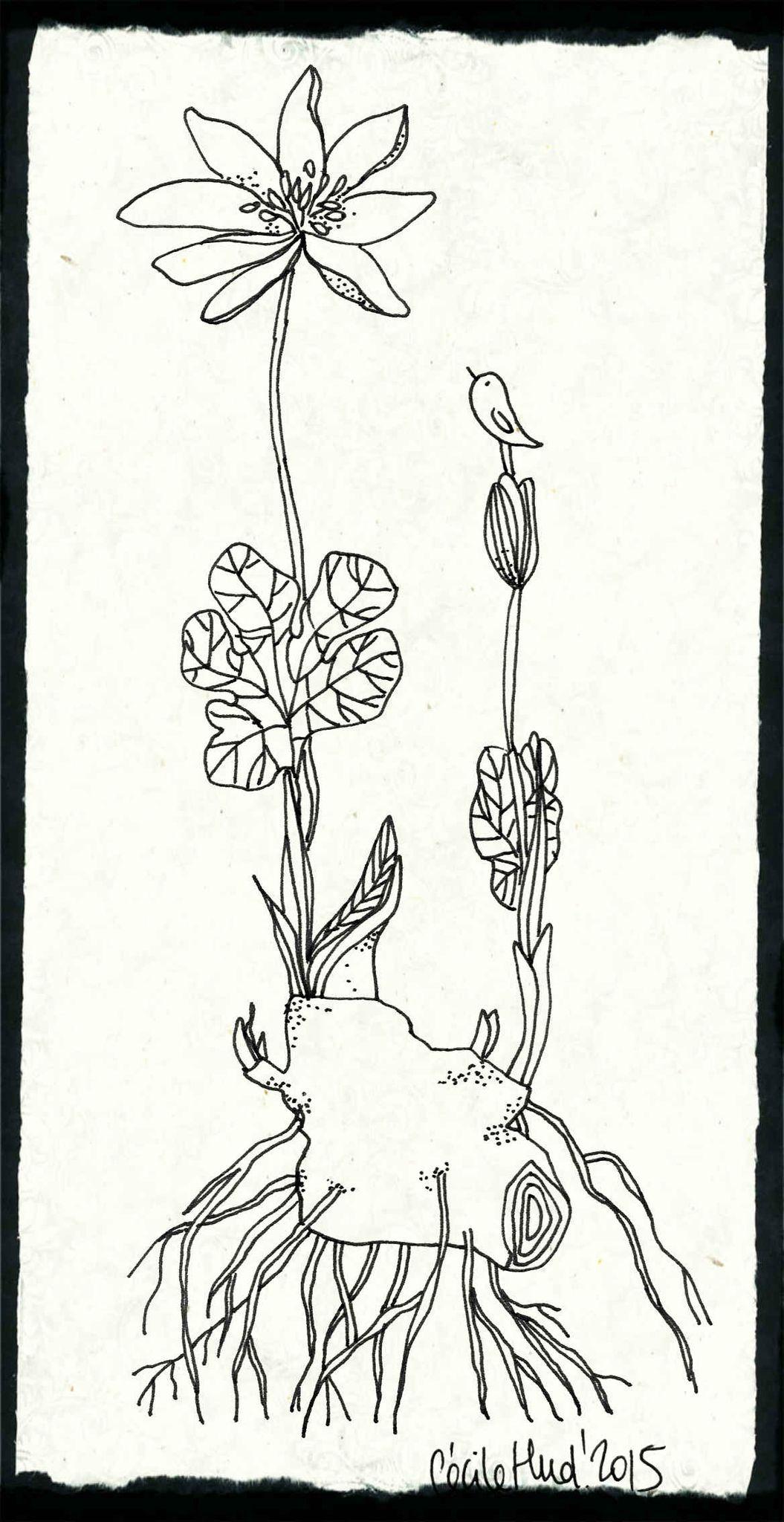 Coloriage Fleurs Bulbe.Bulbe Cecile Hudrisier Dibusss Dibujos Ilustraciones Et Flores