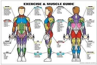 Weight Lifting Exercises Muscle Diagrams Info Wiring