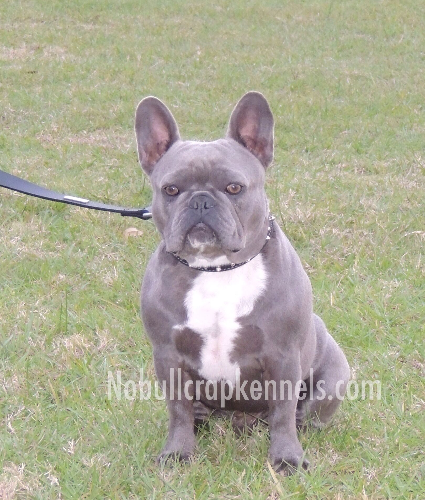 Rhino Valentino Is A Rare Blue French Bulldog That Carry The Rare